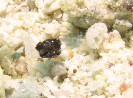カエルウオ稚魚|ブルーリーフ