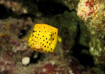 ミナミハコフグ幼魚|ブルーリーフ