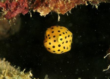ミナミハコフグの幼魚|ブルーリーフ