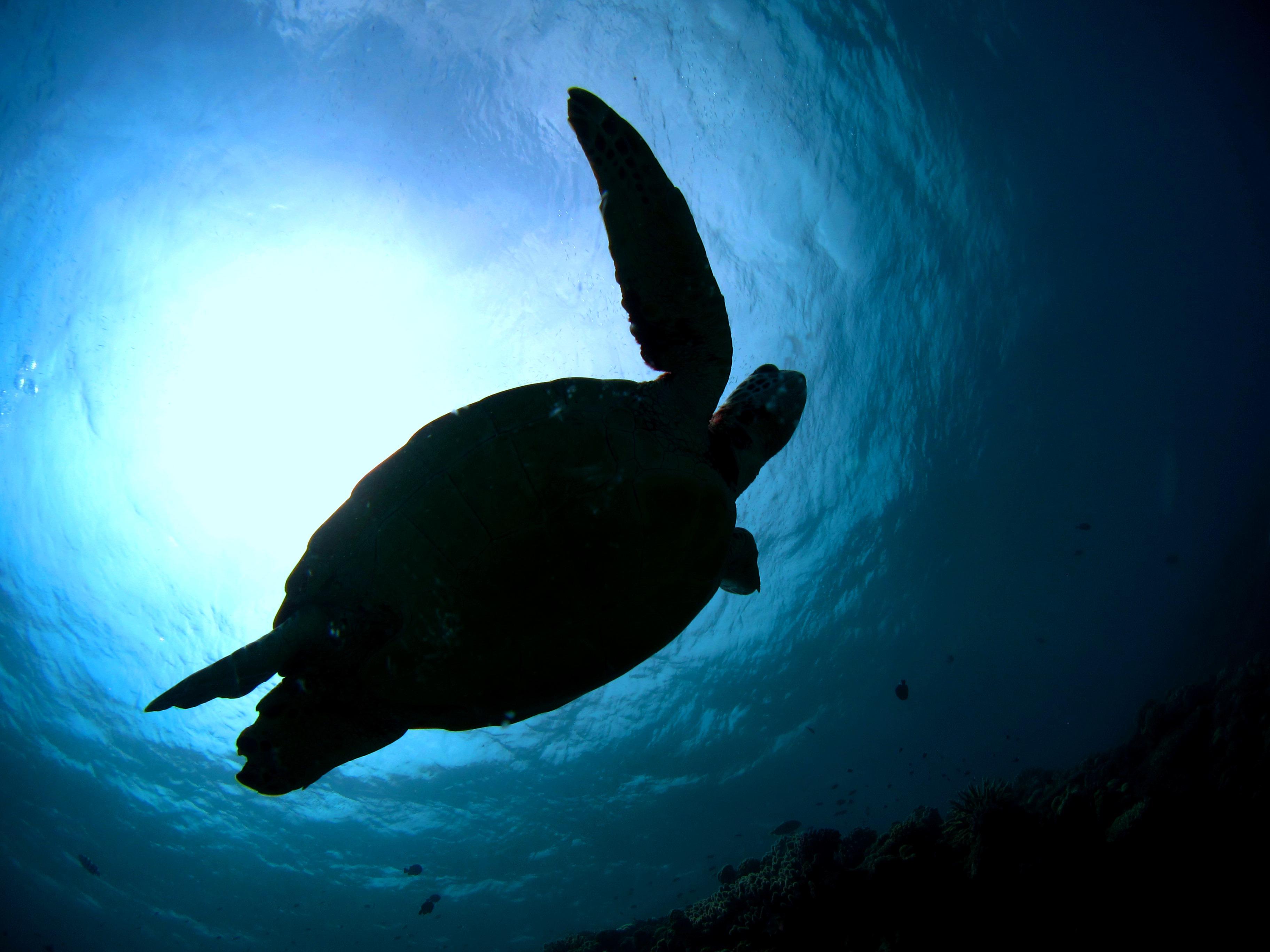 アオウミガメ|ブルーリーフ