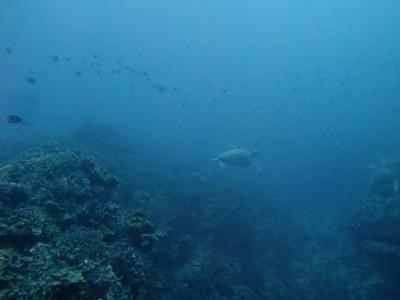 ウミガメ ブルーリーフ