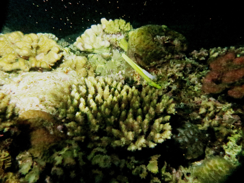 サンゴの産卵調査|ブルーリーフ