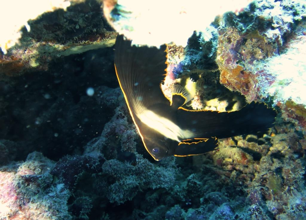 アカククリ幼魚|恩納村